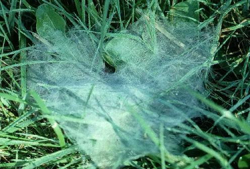 A picture of the Web of the Funnel Spider