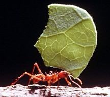 A picture of a Leafcutting Ant (click to enlarge)
