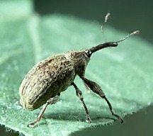 A picture of a Boll Weevil (click to enlarge)
