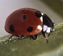 A picture of a Ladybird Beetle