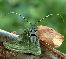 A picture of a Longhorned Beetle (click to enlarge)