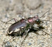 A picture of a Tiger Beetle (click to enlarge)