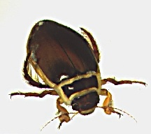 A picture of a Great Diving Beetle