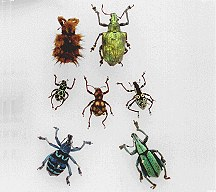 A picture of Weevils
