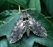 A picture of a Hornworm Moth