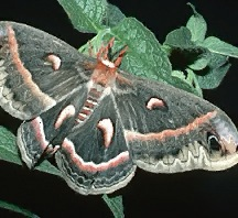 A picture of a Cecropia Moth (click to enlarge)