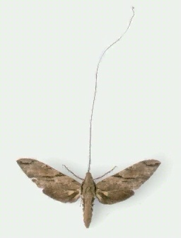 A picture of a Darwin's Hawk Moth