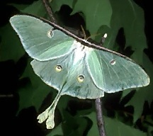 A picture of a Luna Moth
