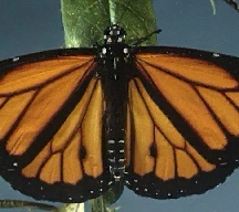 A picture of a Monarch Butterfly (click to enlarge)