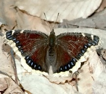 A picture of a Mourning Cloak