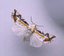 A picture of a Noctuid Moth