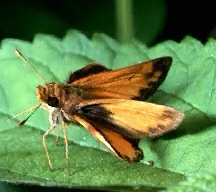 A picture of a Skipper