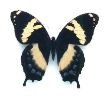 A picture of a Homerus Swallowtail