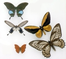 A picture of Tropical Butterflies and Moths
