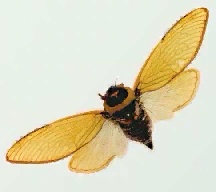A picture of a Cicada