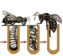 Development of the Honey Bee (click to enlarge)