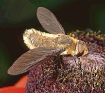 A picture of a Bee Fly