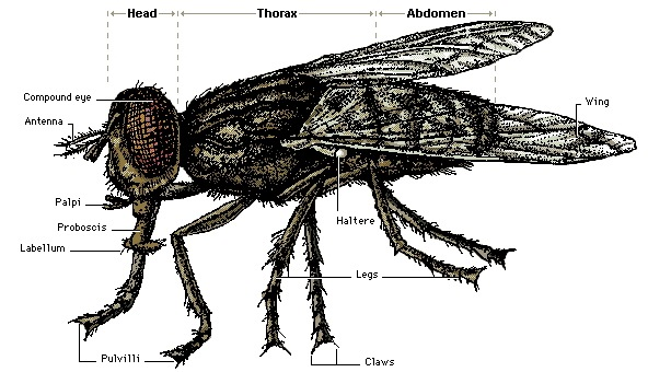 External Anatomy of a Fly