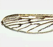 A picture of a Mosquito Wing