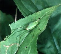 A picture of a Katydid