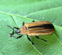 A picture of a Leafminer