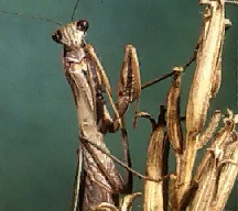 A picture of a Praying Mantis (click to enlarge)