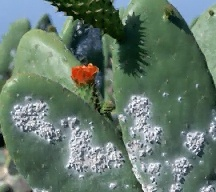 A picture of Cochineal Insects