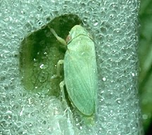 A picture of a Spittlebug