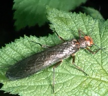 A picture of a Stonefly